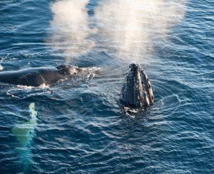 Walvissen Antarctica